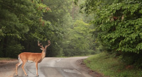 deer-in-road-460x250